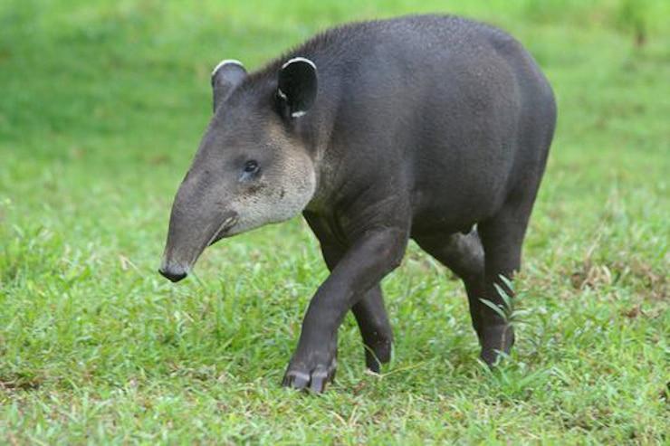 Tapir Tikal