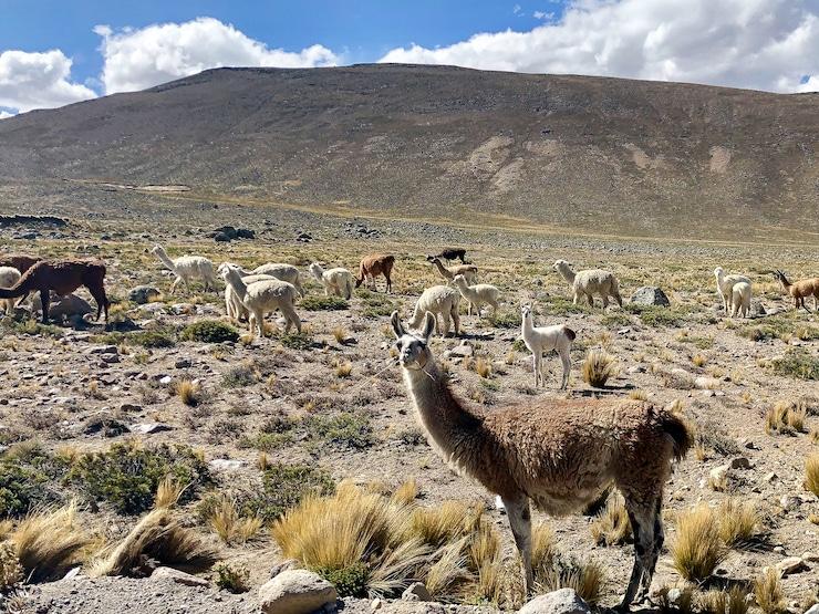 Sumbay Alpakas und Lamas
