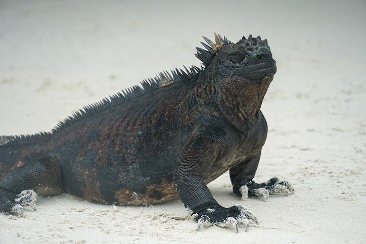 Galapagos Iguan