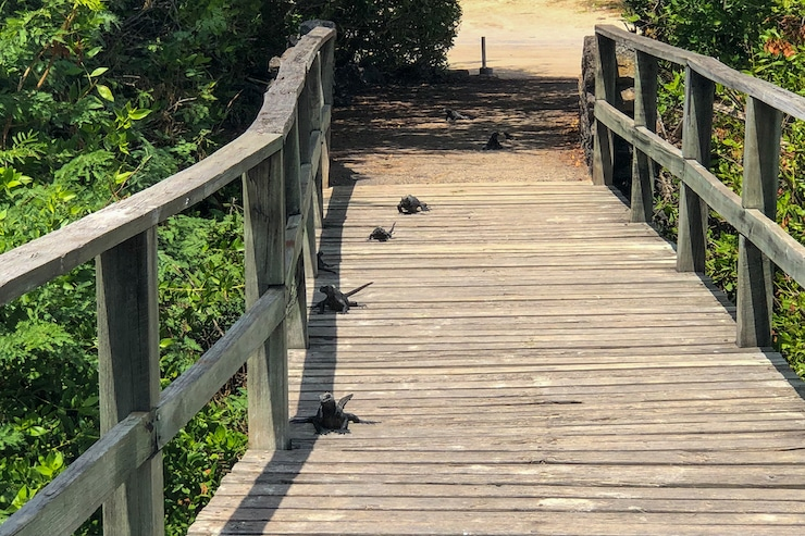 Galapagos Iguane auf Steg