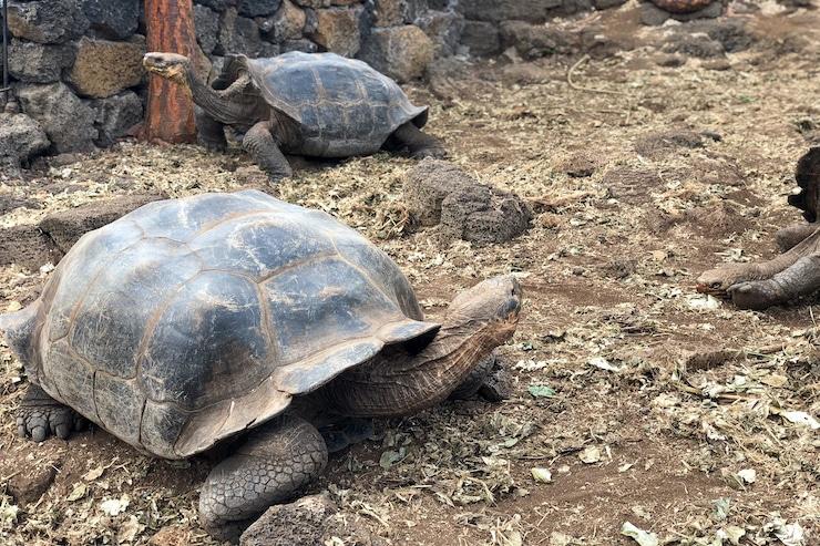 Galapagosschildkröten Charles Darwin Research Station