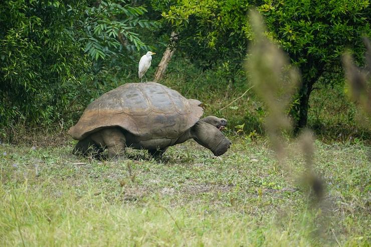 Galapagosschildkröte El Chato