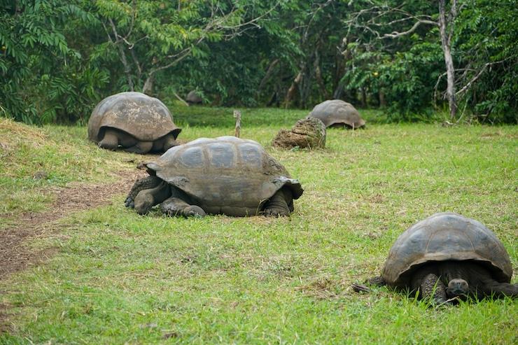 Galapagosschildkröten El Chato Reservat