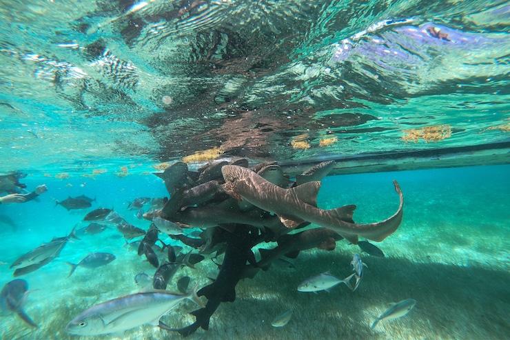 Haie und Fische bei Schnorcheltour auf Caye Caulker
